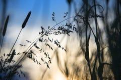 Rozmyci dzikiej trawy lisa ogony w łące zdjęcie stock