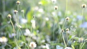 Rozmyta i miękka ostrość trawa kwiat zbiory wideo