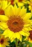 Rozochocona słonecznikowa pozycja za polu wewnątrz obrazy stock