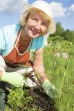 Rozochocona starsza kobieta zbiera marchewki w ogródzie fotografia stock
