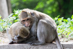 Rozochocone małpy Zdjęcie Stock