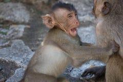 Rozochocone małpy Zdjęcie Royalty Free