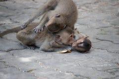 Rozochocone małpy Obraz Stock
