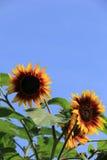 Rozochocone twarze słoneczniki, set przeciw barwinków niebieskim niebom zdjęcia royalty free