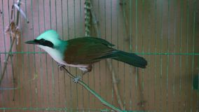 Rozochocony czubaty roześmiany drozda Garrulax leucolophus wśrodku ptasiej klatki zdjęcie wideo