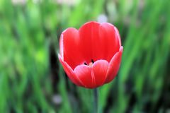 Rozochocony i piękny czerwony tulipan na tle zabawy trawa obraz stock