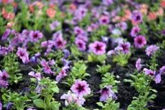 Rozochocony kwiatu łóżko Zdjęcia Stock