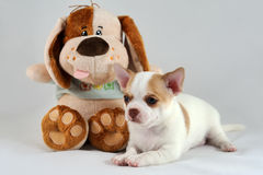 Rozochocony przyjaciel - chihuahua szczeniak z miękkiej części zabawką Fotografia Stock