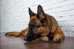 Rozochocony radosny pies na ceglanym tle niemiecka baca obraz royalty free