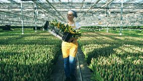 Rozochocony szklarniany pracownik trzyma kosz z tulipanami, chodzi indoors zbiory wideo
