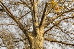Rozpada się teksturę stary jesieni drzewo w halnej lasowej jesieni s Zdjęcia Stock