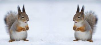 rozpieczętowane usta wiewiórki dwa obraz stock