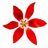 Rozpieczętowany czerwony tulipanowy kwiat odizolowywający na białym tle Zakończenie bell świątecznej element projektu Zdjęcia Stock