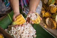 rozpieczętowany surowy świeży kakaowy strąk w rękach z fasolami inside Zdjęcie Stock