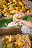 rozpieczętowany surowy świeży kakaowy strąk w rękach z fasolami inside Fotografia Stock