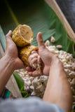 rozpieczętowany surowy świeży kakaowy strąk w rękach z fasolami inside Obrazy Royalty Free