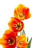 rozpieczętowani tulipany Fotografia Stock
