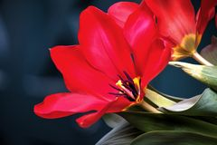 Rozpieczętowany czerwony tulipan Obraz Stock