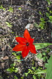Rozpieczętowany czerwony tulipan Obrazy Royalty Free