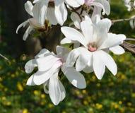 Rozpieczętowany kwiat magnolia Zdjęcie Royalty Free