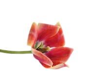 Rozpieczętowany kwiat tulipan Obrazy Royalty Free