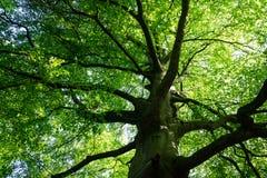Rozprzestrzeniać gałąź dojrzały bukowy drzewo Zdjęcia Royalty Free
