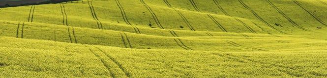 Rozpylać rośliny, żółci rapeseed pola zdjęcie stock
