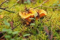 Rozrasta się żółtych chanterelles w jesień lesie Fotografia Stock