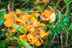 Rozrasta się chanterelles wśród trawy Zdjęcie Royalty Free