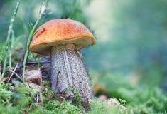 Rozrasta się nakrętka borowika rósł w lecie w lasowym ostrości pojęciu Zdjęcia Stock