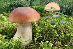 Rozrasta się (borowik edulis) dorośnięcie w lesie Zdjęcia Royalty Free