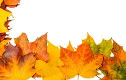 Rozrzucanie piękni spadać liście klonowi Podstawa dla projekta Obraz Royalty Free
