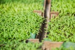 Rozsad rośliny w szklarni Zdjęcie Stock