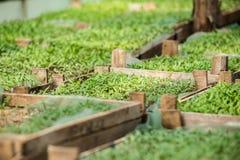 Rozsad rośliny w szklarni Obraz Royalty Free