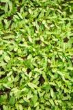 Rozsad rośliny w szklarni Obrazy Royalty Free