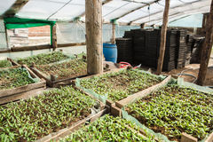 Rozsad rośliny w szklarni Fotografia Stock