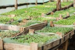 Rozsad rośliny w szklarni Zdjęcie Royalty Free