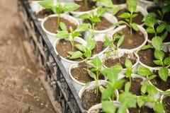 Rozsad rośliny w szklarni Fotografia Royalty Free