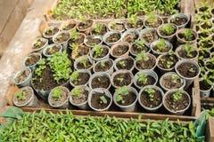 Rozsad rośliny w szklarni Obrazy Stock