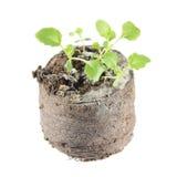 Rozsada ringowy bellflower lub Symphyandra wahadła w gruźle odizolowywającym na białym tle ziemia Obraz Stock