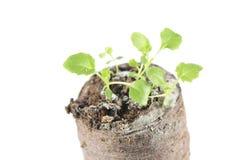 Rozsada ringowy bellflower lub Symphyandra wahadła w gruźle odizolowywającym na białym tle ziemia Fotografia Royalty Free