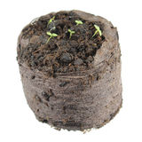 Rozsada ringowy bellflower lub Symphyandra wahadła z dwa zielonymi liścieni liśćmi w gruźle odizolowywającym na białym tle ziemia Zdjęcie Stock