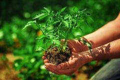 Rozsadowi pomidory w rolnik rękach Zdjęcia Stock