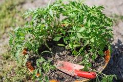 Rozsadowy pomidor w tacy dla flancy w szklarni Zdjęcie Stock