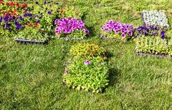 Rozsady dekoracyjni kwiaty na polu zdjęcie stock