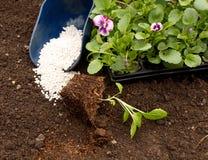 Rozsady kwiaty Astra i altówka na tle ziemia i użyźniacze Obrazy Royalty Free