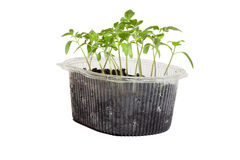 Rozsady pomidory w pudełku fotografia royalty free