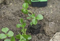 Rozsady truskawka dla zasadzać obraz stock