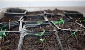 Rozsady w garnkach w domu Wczesne rozsady rosnąć od ziaren w pudełkach na windowsil w domu zielona dorośnięcia zielony rozsady zi zdjęcie royalty free