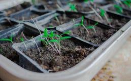 Rozsady w garnkach w domu Wczesne rozsady rosnąć od ziaren w pudełkach na windowsil w domu zielona dorośnięcia zielony rozsady zi zdjęcia stock